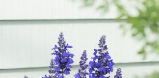 Salvia (Balsalmysty) Mysty