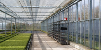 Cultivation of cypressus in a Dutch greenhouse