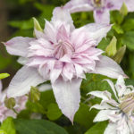 Clematis 'ST17333' (Multi Pink), submitted by Van der Starre from Boskoop, has been voted Best Novelty at Garden Trials and Trade 2019.
