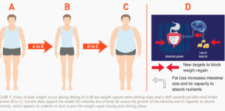 A loss of body weight occurs during dieting but weight regains when dieting stops and a shift towards pre-diet meal intake resumes.