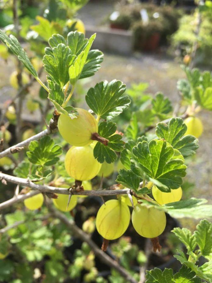 doonwood nurseries image of grapes