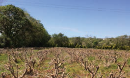 Coppiced plantation of Eucalyptus grown for cut foliage in Co. Kerry