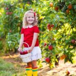 Little girl picking apples in fruit garden